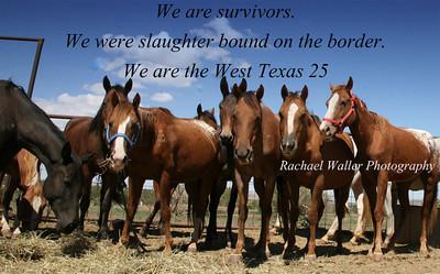 Survivors of the West Texas 25 herd