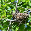 I found this nest along a Halls Rd. It looks to be an Eastern Kingbird.