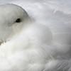 sleep swan