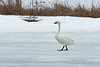 "Tundra Swan also known as the ""whistling"" swan."