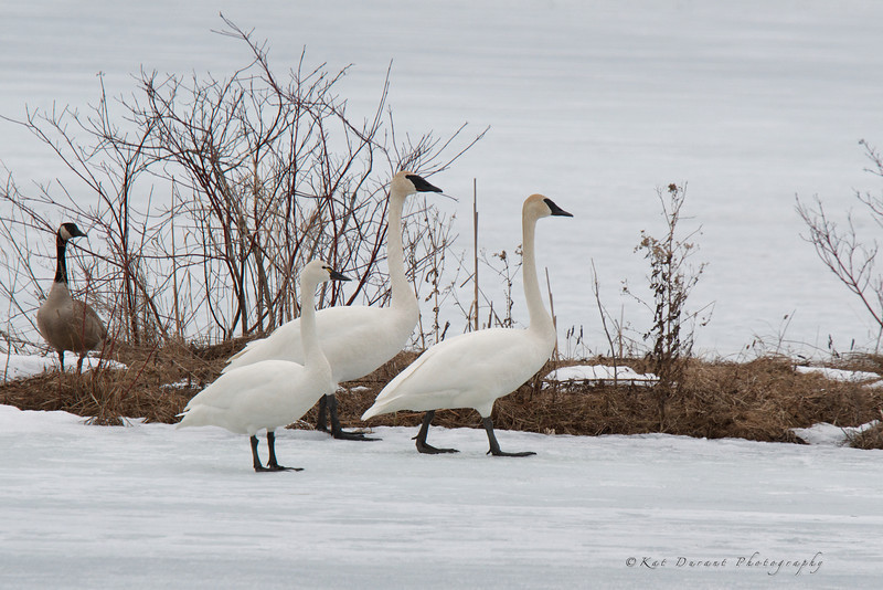 Little Tundra Swan in front of the two Trumpeters.You can see the difference in size with them standing so close.