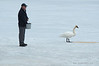 Park ranger feeding the swans to help accustom them to his presence so he can band them for tracking their migration patterns