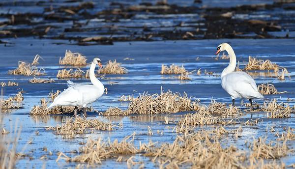 Swans and Deer