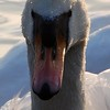 Mute Swan at Duttons Pond, Flixton, Manchester, UK
