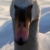 Mute Swan at Duttons Pond, Flixton, Manchester, UK