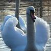 Defensive mute swan.