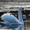 Mute Swan Frozen Pond