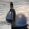 Pair of Swans at Duttons Pond, Flixton, Manchester.