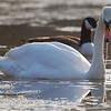 Backlight Mute Swan