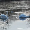 A pair of mute swans in the ice at duttons pond
