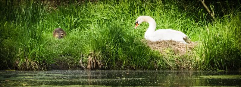 Swan and a predatory animal