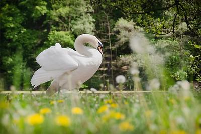 Swan between meadow and wood