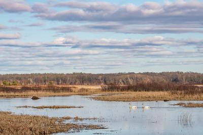 """SWANS 7234  """"Spring Swans at Crex Meadows""""  Crex Meadows Wildlife Area - Grantsburg, WI"""