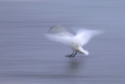 "SWANS 5557  ""Landing Swan Abstract""  Mississippi River - Monticello, MN"