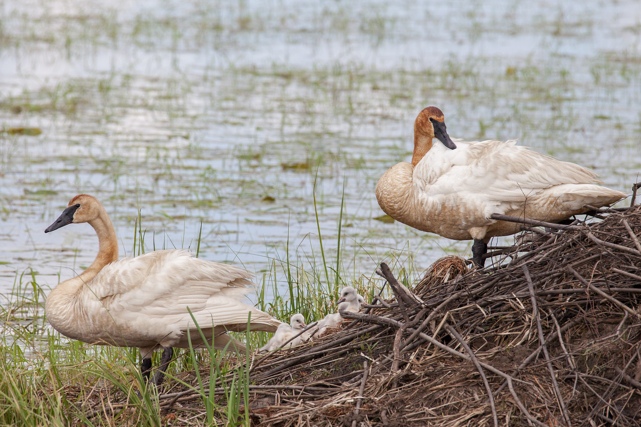 """SWANS 7732<br /> <br /> """"Watching over the young ones""""<br /> <br /> Swans at Crex Meadows Wildlife Area - Grantsburg, Wisconsin"""