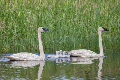 "SWANS 7579  ""Swan Family""  Crex Meadows Wildlife Area - Grantsburg, Wisconsin"