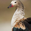 Orinoco Goose.