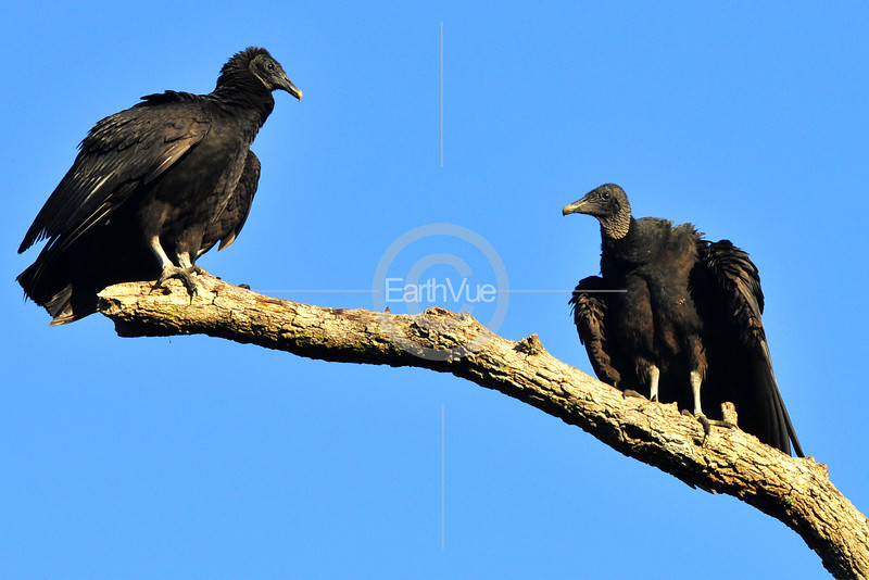 BLACK FACED VULTURES
