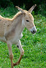 PERSIAN ONAGER