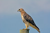 NATIVE RED TAILED HAWK
