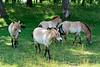 PRZEWALKSKI'S WILD HORSE