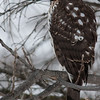 Juvenile Cooper's Hawk, Jan. 5, 2014, Lowell WI