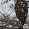 Juvenile Cooper's Hawk, Jan. 5, 2014, Lowell WI