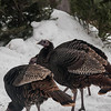 "Turkeys in our yard;  the trees in the background are left-over Christmas trees ""planted"" in the snow bank to form a windbreak"