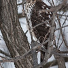 I asked neighbor/D.N.R. guy Jeff Bahls about I.D. on this bird (the one I was shooting from the car on Blackbird Rd.).  He referred me to an expert who works at Hawk Ridge (Minn.), who said it was a juvenile Cooper's hawk.<br /> Jan. 5, 2014