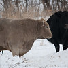 Rocket Man & a lady friend in the pasture, Jan. 5, 2014.  It was 5 degrees & they had access to a more sheltered area but were just hanging out together in the pasture.