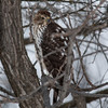Juvenile Cooper's hawk on Blackbird Rd between G & Well Rd<br /> Jan. 5, 2014