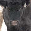 I liked how you could see the cow's breath against its dark coat.<br /> Jan. 5, 2014, at 5 degrees.  I'm sure the cow will be watching the Packers game later.