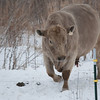 Rocket Man coming in from the pasture, Jan. 5, 2014