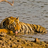 The alpha male near the Tadoba lake - Gabbar!