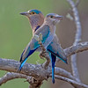 Indian Roller aka Blue Jay