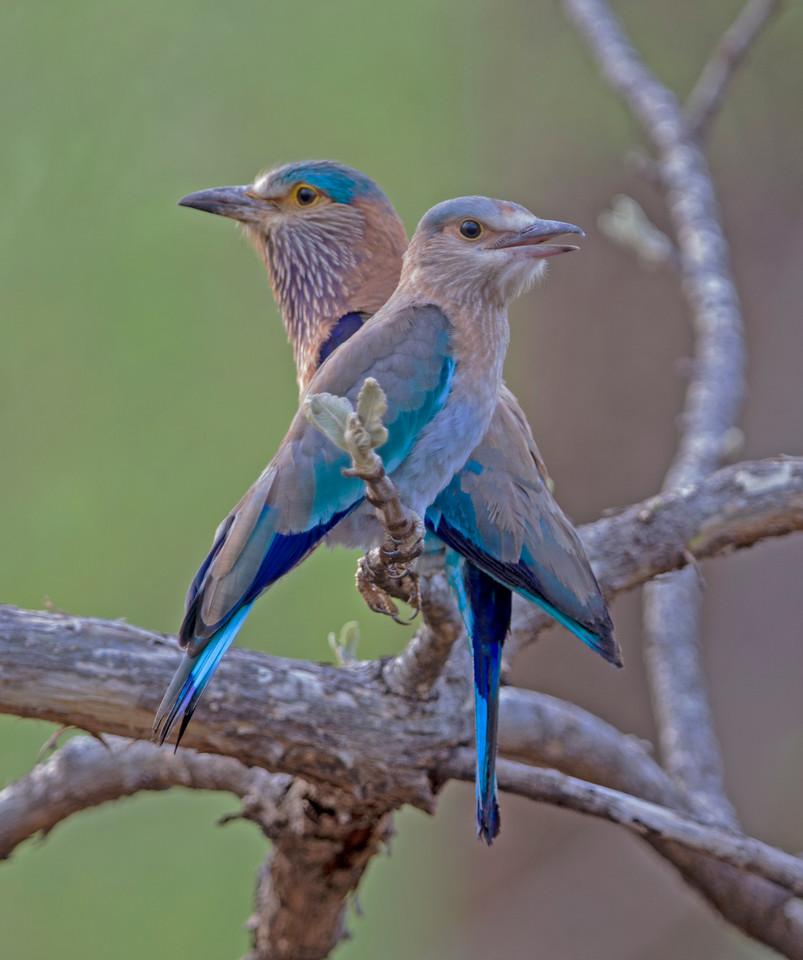 Indian Roller aka Blue Jay