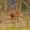 Spotted Deer aka Chital