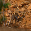 Tiger Cub @ waterhole