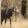Nilgai - Blue Bull - the largest wild herbivore in India
