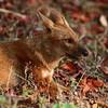 Indian Wild Dog - Dhole (endangered)