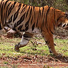 Tiger in a hurry