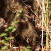Wild Boar foraging