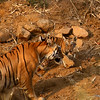 Tiger Cub - Mother interaction