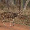Spotted Deer