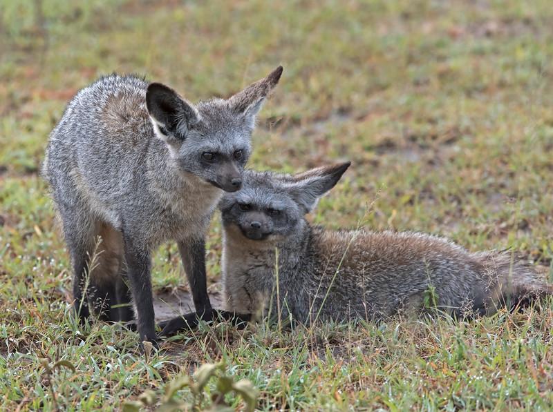 Bat Earred Fox