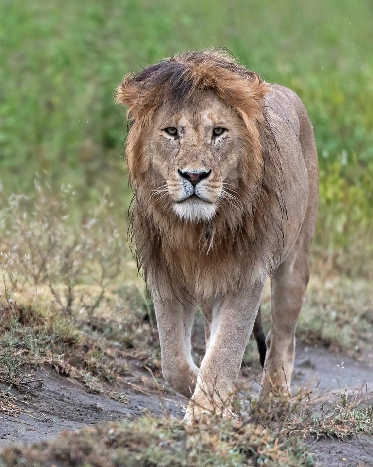 Wet Lion