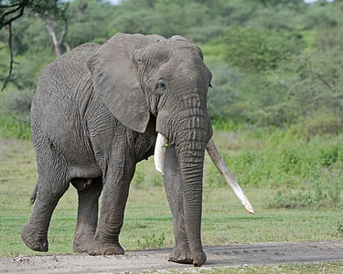 Senior Male ELephant