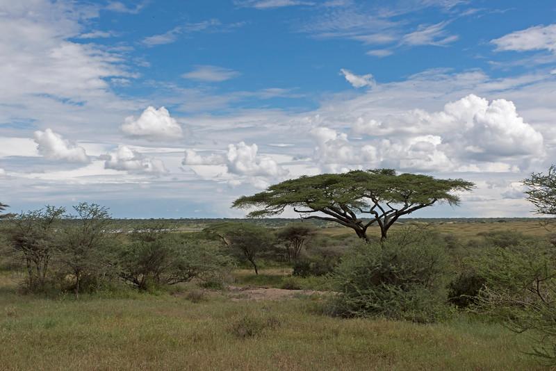 Flat Top Acacia in Nudutu