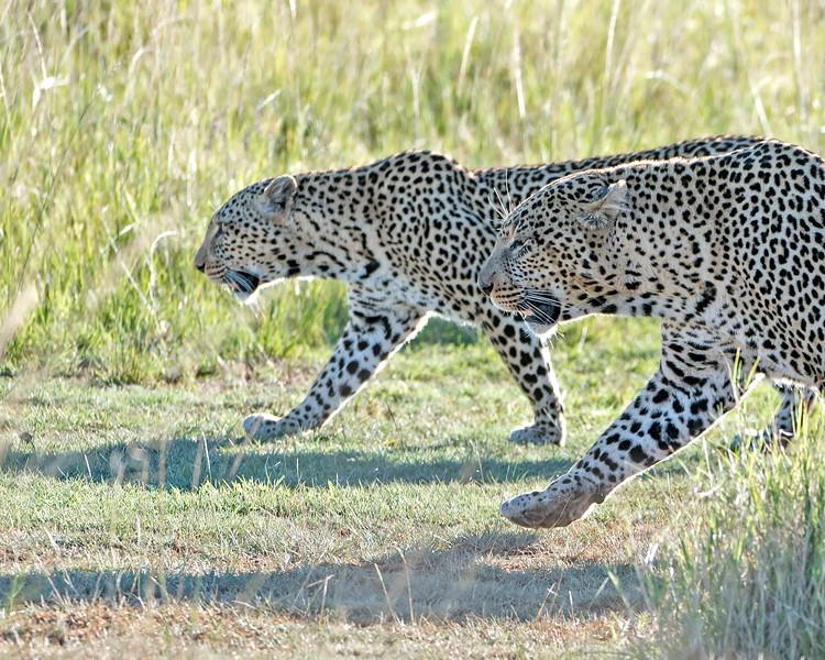 Leopard Couple Stroll