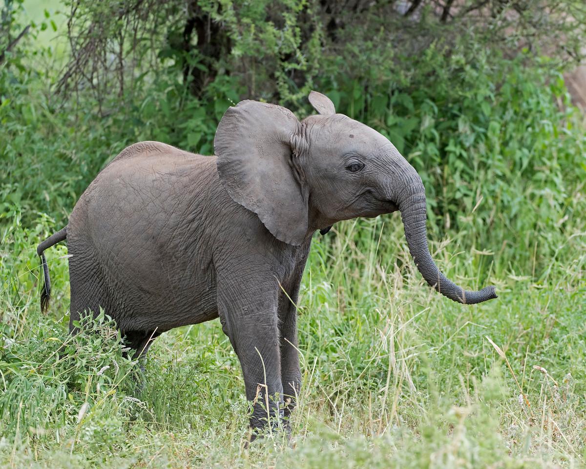 Elephant Baby Posing
